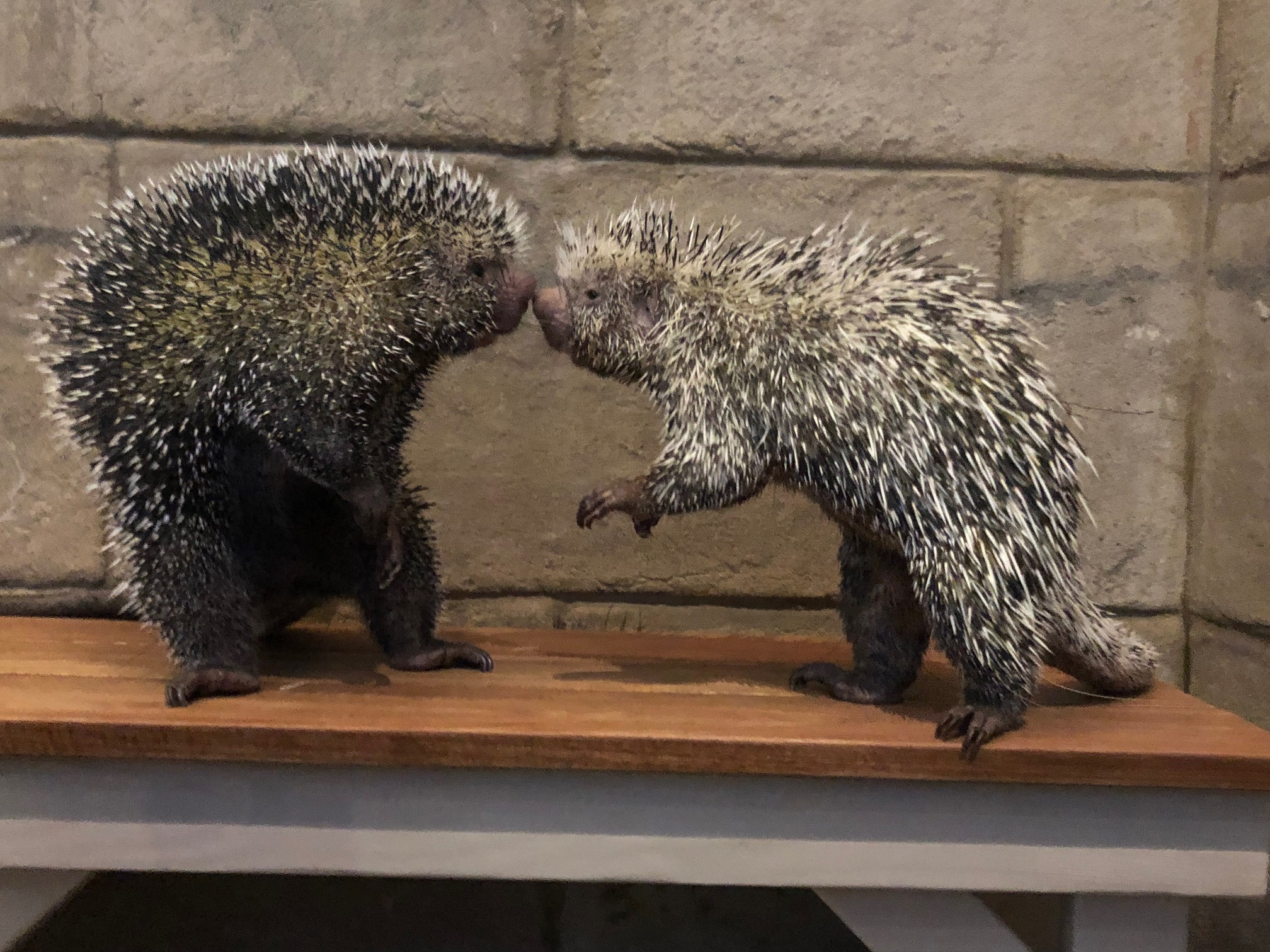 Porcupines Standing