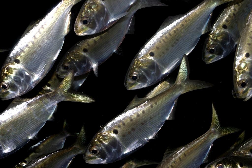 Bunker Schooling Fish