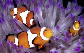 Anemone fish in purple