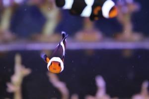 Clownfish - Nemo