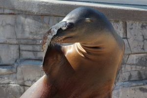 Sea lion covering her eyes