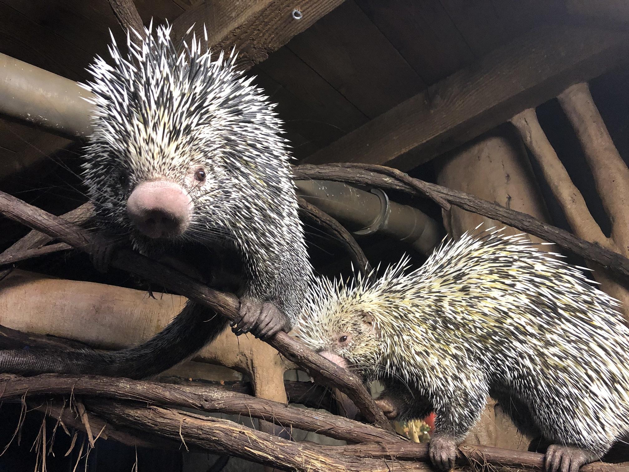 Porcupines climbing