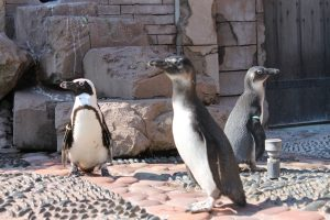 african penguin talk