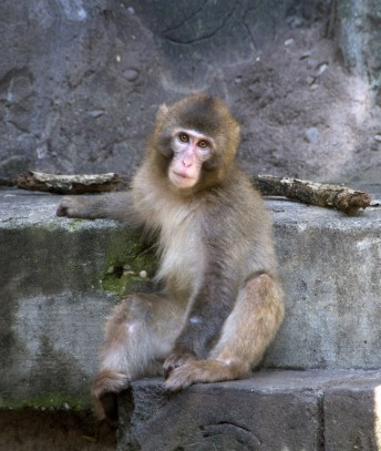 Japanese Snow Monkeys: Lost Temple of Atlantis - Long Island
