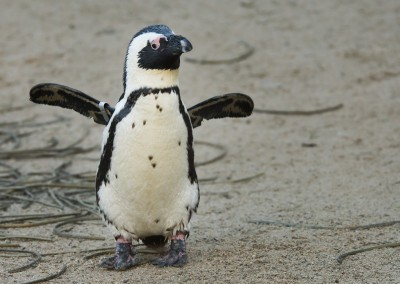 Penguin Flapping