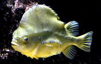 Rocky Shores lumpfish