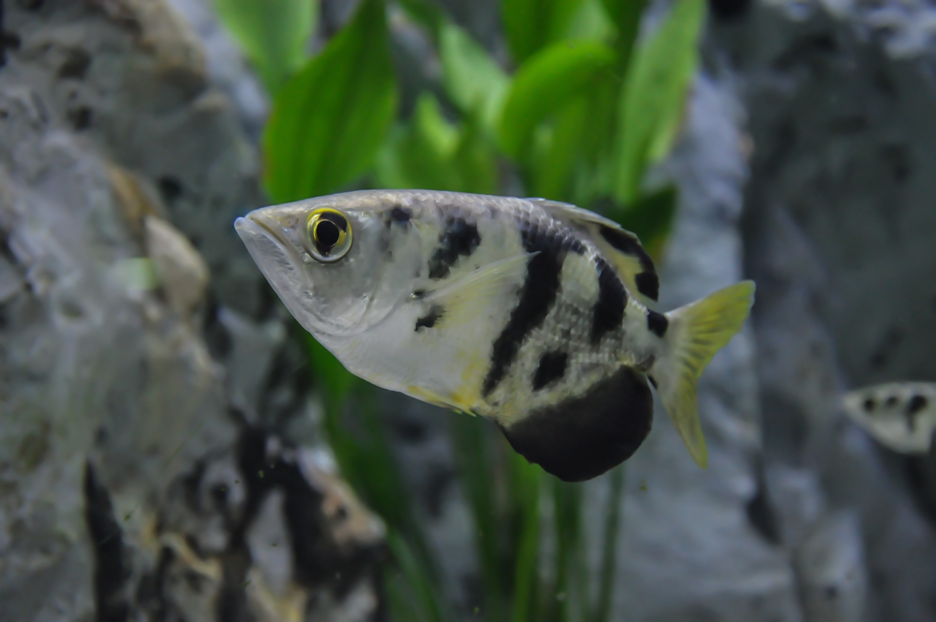 how to keep archer fish