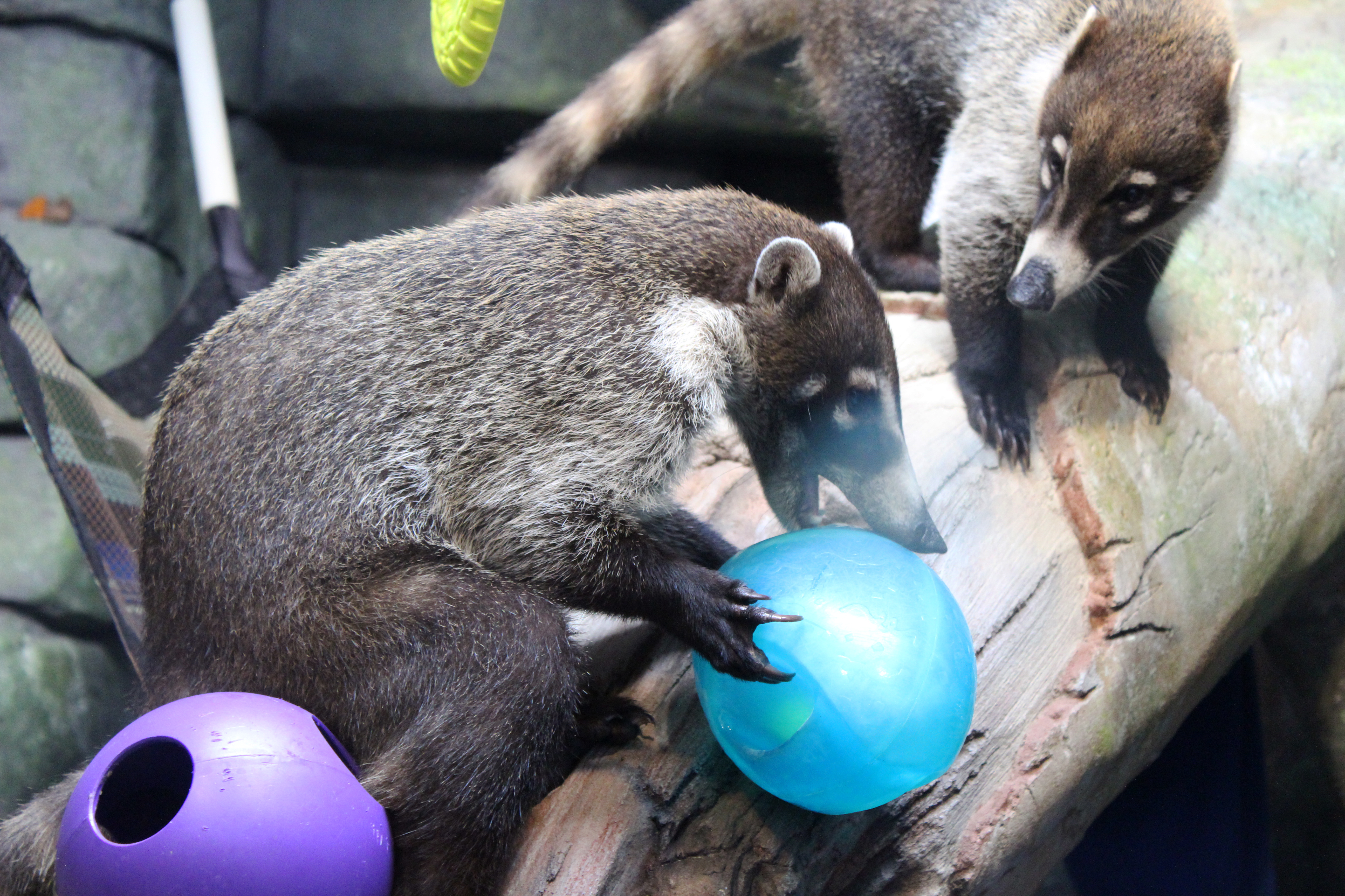 Coati playing with a Ball