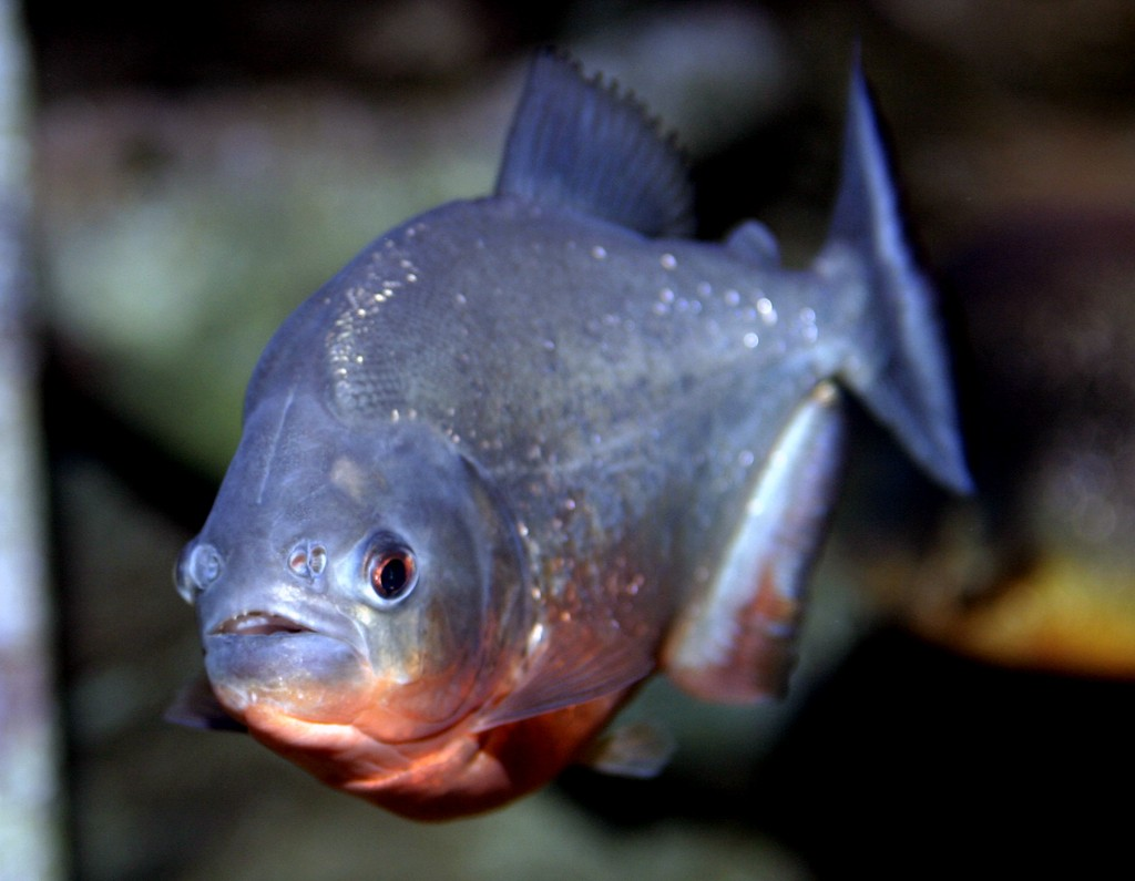 Piranha Exhibit Long Island Aquariumlong Island Aquarium HD Wallpapers Download free images and photos [musssic.tk]