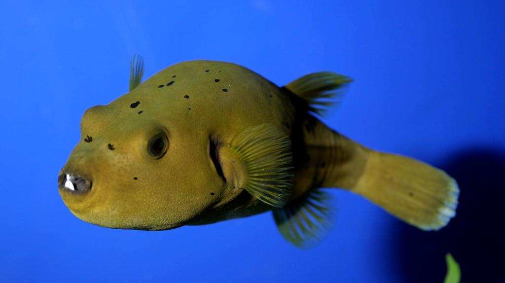 Puffer fish exhibit long island aquariumlong island aquarium for Puffer fish facts